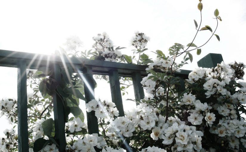 White roses in backlight